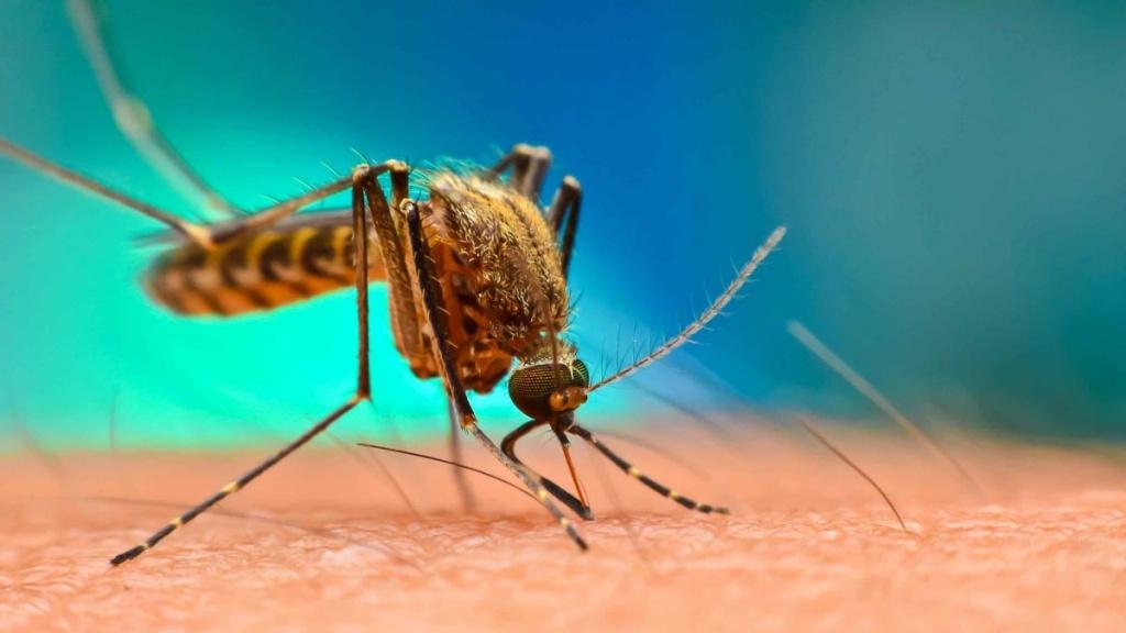 сколько живут комары